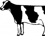 Cow Holstien 1